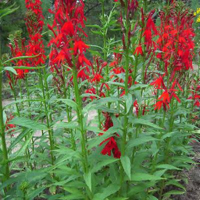 Lobelia - Lobelia cardinalis