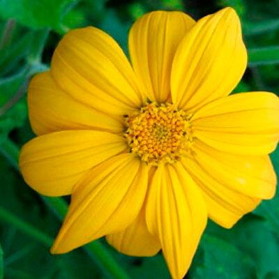 Tithonias - Yellow Torch