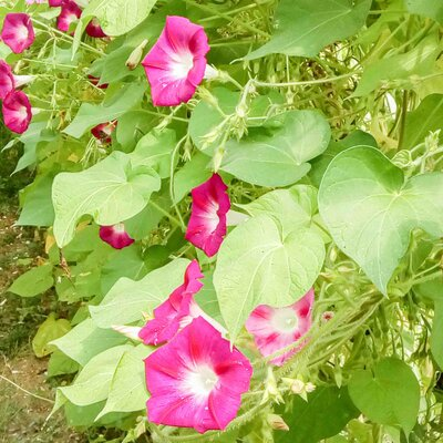 Ipomées - Crimson Rambler