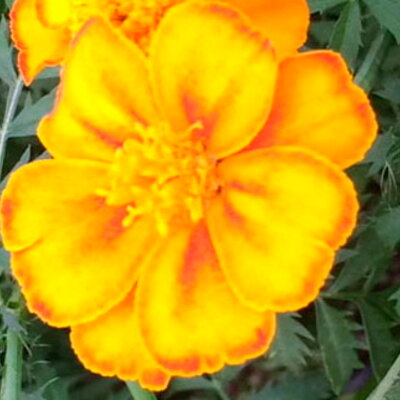 Tagètes - Orange Sunshine Mix