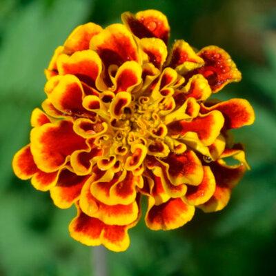Tagètes - Sparkler Marigold