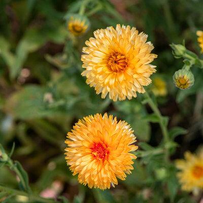 Soucis - Orange Sherbet