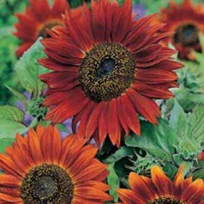 Tournesols à Fleurs - Red Sun
