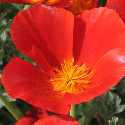 Coquelicots de Californie - Mikado Red