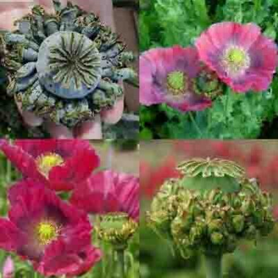 Pavots - Hens And Chicks