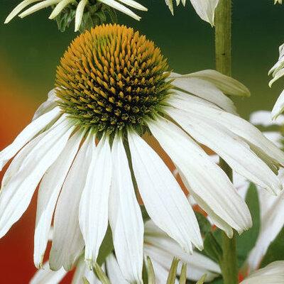 Echinacea - Alba
