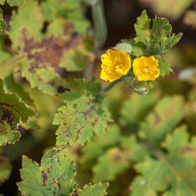 Stylophorum - Stylophorum sutchuenense