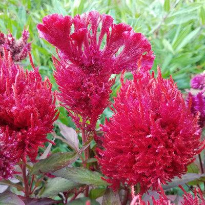 Celosia - Dark Pink Plume