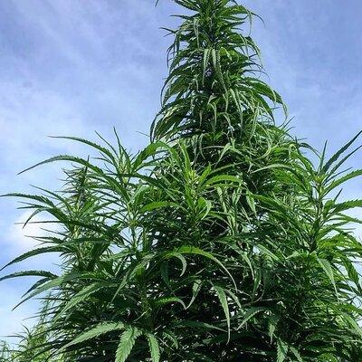 Cannabis - Carmagnola