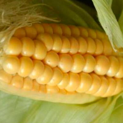 Maïs - Puget Gold