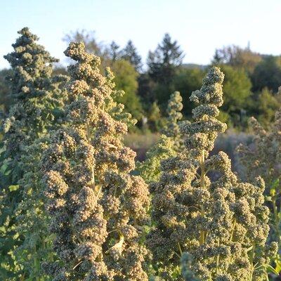 Quinoas - Chadmo