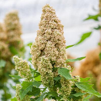 Quinoas - White Spike
