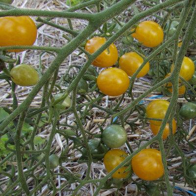 Tomates-Cerises - Orange Grape Tress