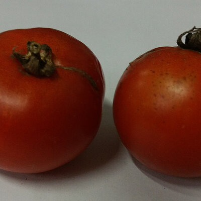 Tomates-Cerises - Magic Lineup