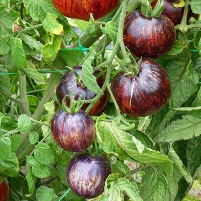 Tomates - Kaleidoscopic Jewel