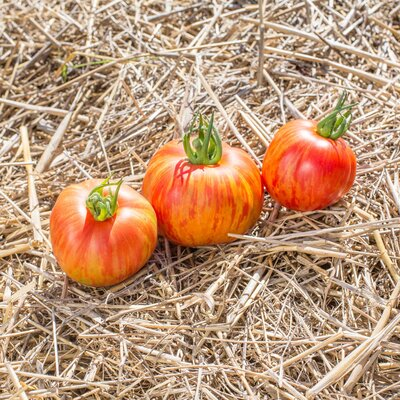 Tomates - Red Furry Boar