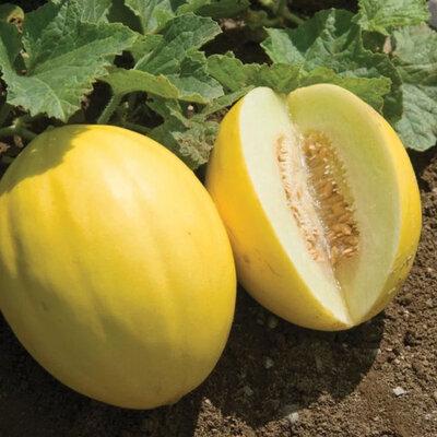 Melons - Jaune des Canaries