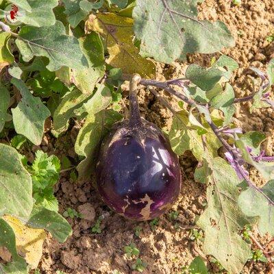 Aubergines - Round Purple