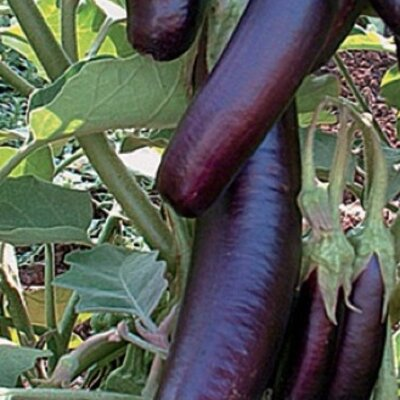 Aubergines - Kurume Long Purple