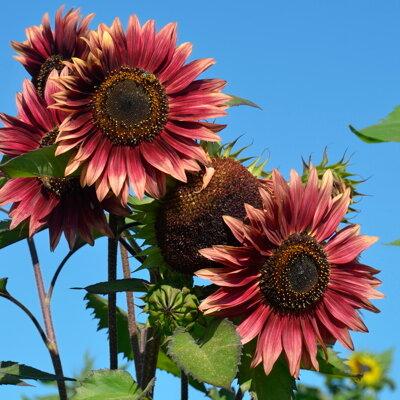 Tournesols à Fleurs - Evening Sun