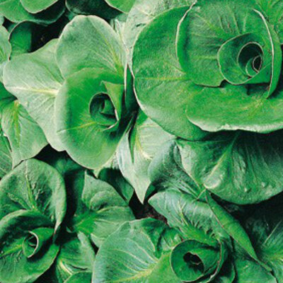 Chicorées - Grumolo Verde