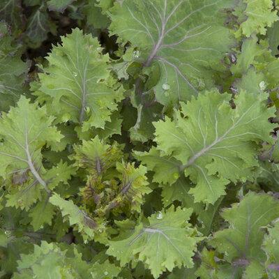 Choux Frisés / Kales - Red Ruffled