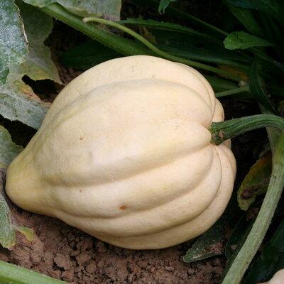 Courges Pepo - Thelma Sanders Sweet Potato