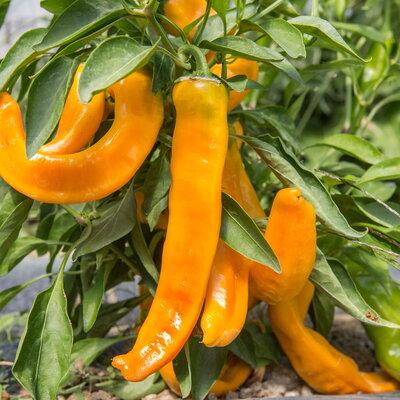 Piments/Poivrons - Petit Jaune d'Antibes