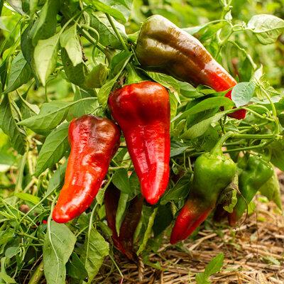 Piments/Poivrons - Relleno Rouge