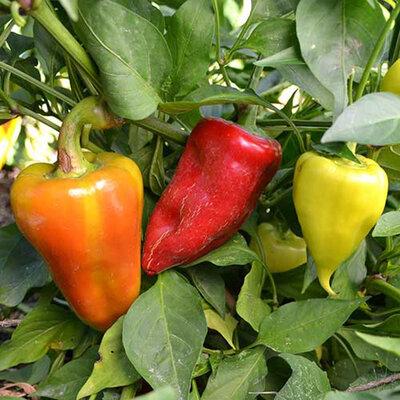 Piments/Poivrons - Healthy Pepper