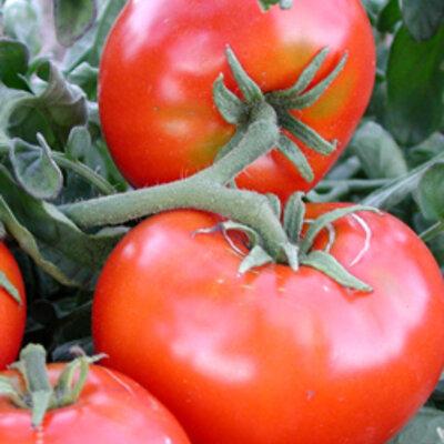 Tomates - Santiam