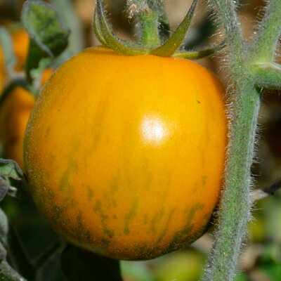 Tomates - Woolly Green Zebra