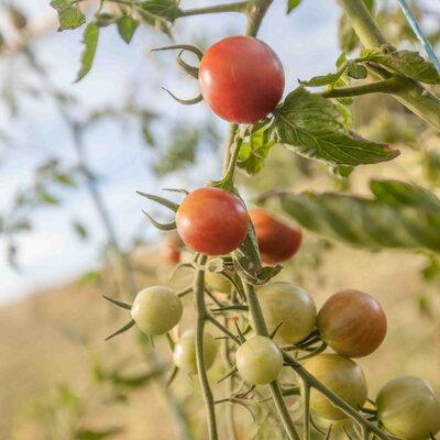 Tomates-Cerises - Copper Currant
