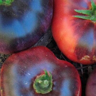 Tomates - Blue Beauty
