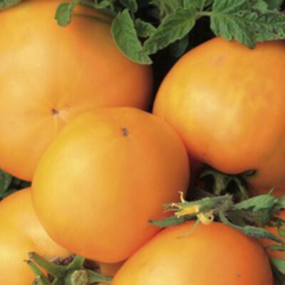 Tomates - Emmy