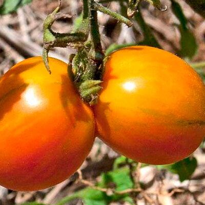 Tomates-Cerises - Matt's Folly