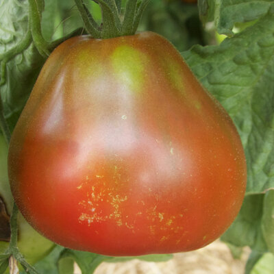 Tomates - Bédouin
