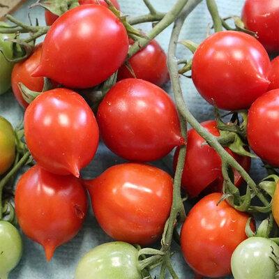 Tomates-Cerises - Geranium Kiss