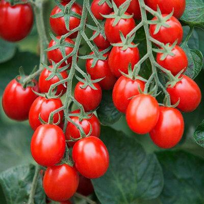 Tomates-Cerises - Prune Rouge
