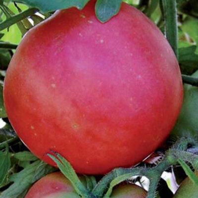 Tomates - Peach Blow Sutton