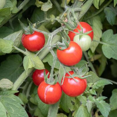 Tomates-Cerises - Cherry Chadwick