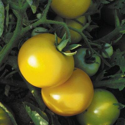 Tomates - Sol Gold
