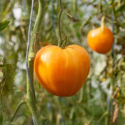 Tomates - Verna Orange