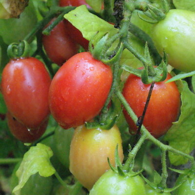Tomates-Cerises - Whippersnapper