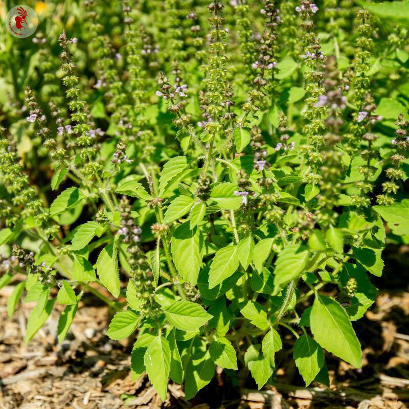 Basilics Tulsis - Sacré/Tulsi
