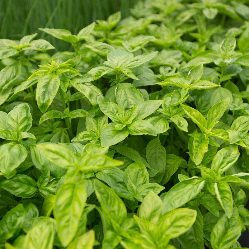 Basilics - Grand Vert