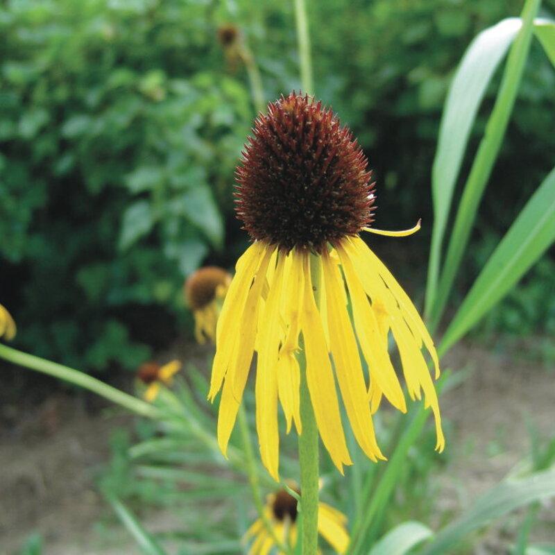 Echinacea - Echinacea paradoxa