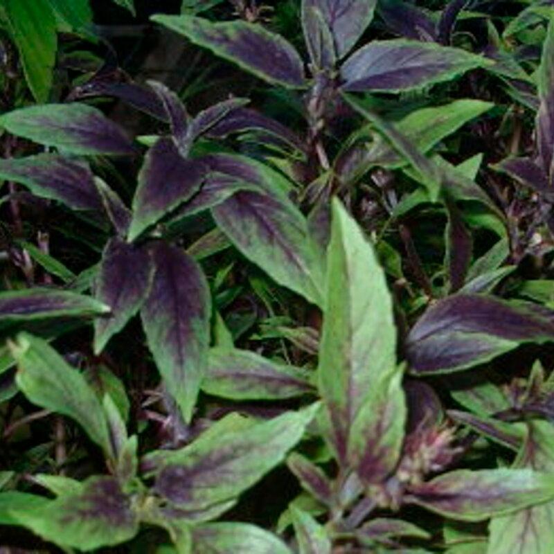 Basilics - De Nouvelle Guinée