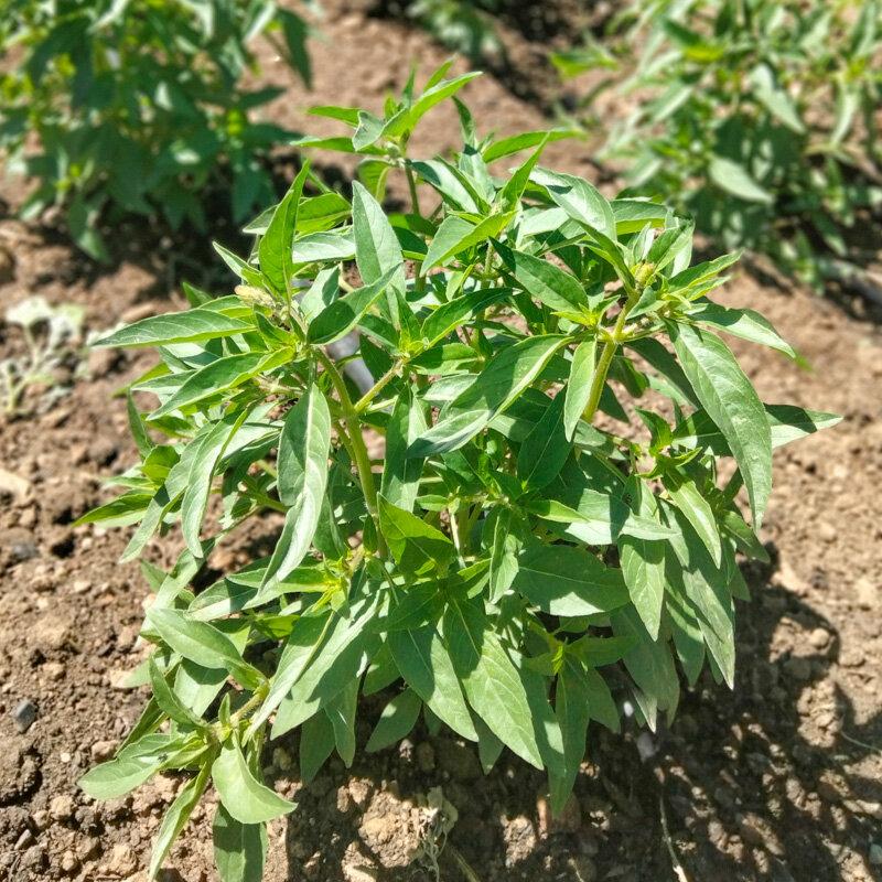 Basilics - Malawi Camphor