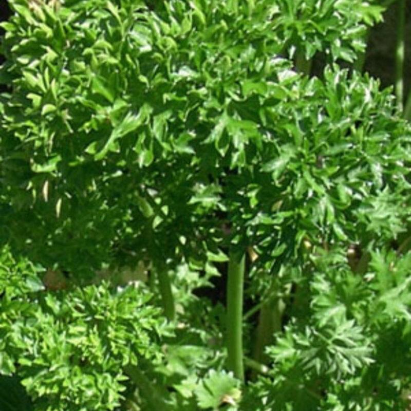 Persils - Frisé Green Forest